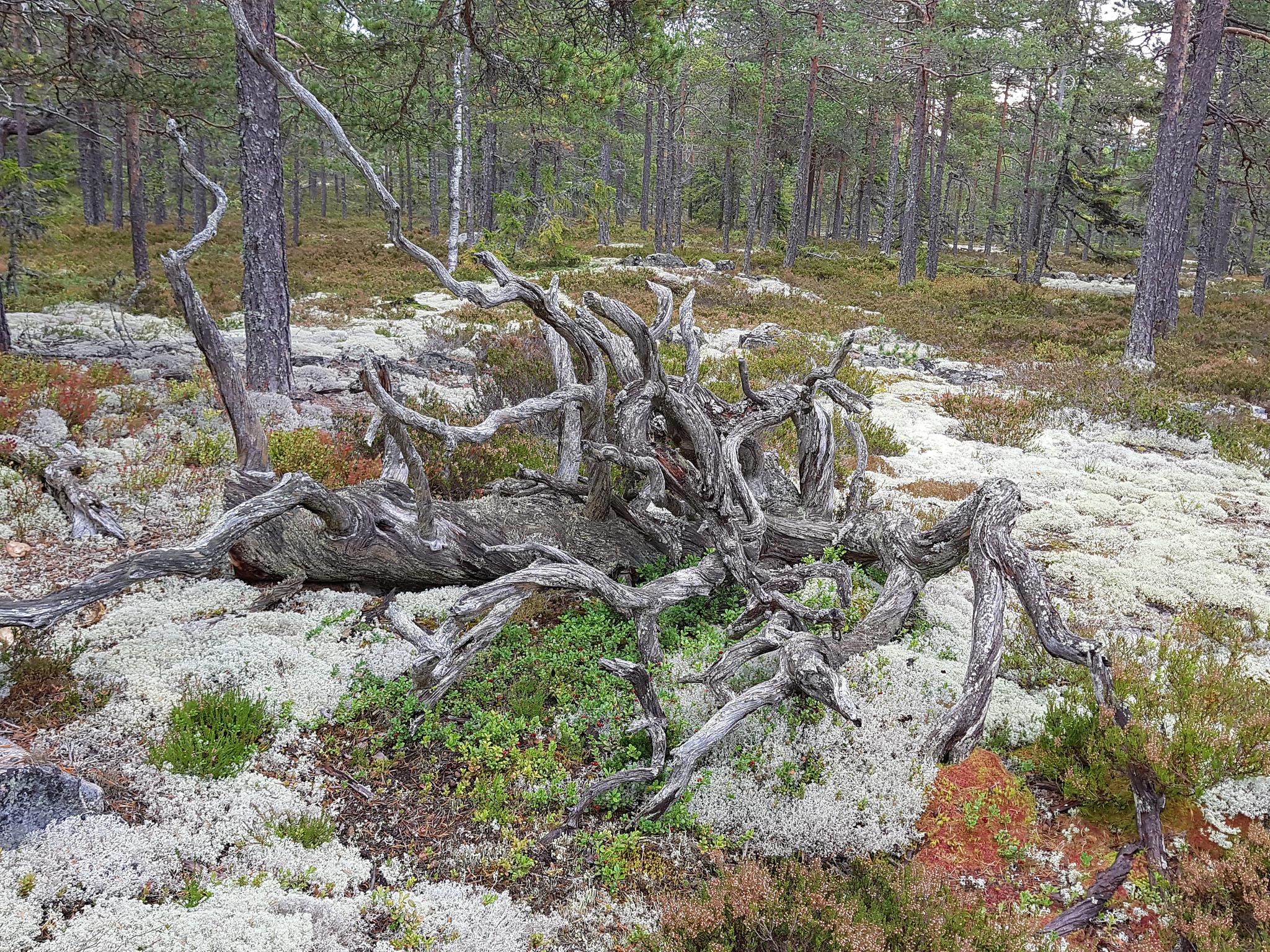 Woodoctopus